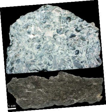 조개와 닮은 연체동물인 완족류 화석이 석회암에 빼곡하게 들어차 있다.