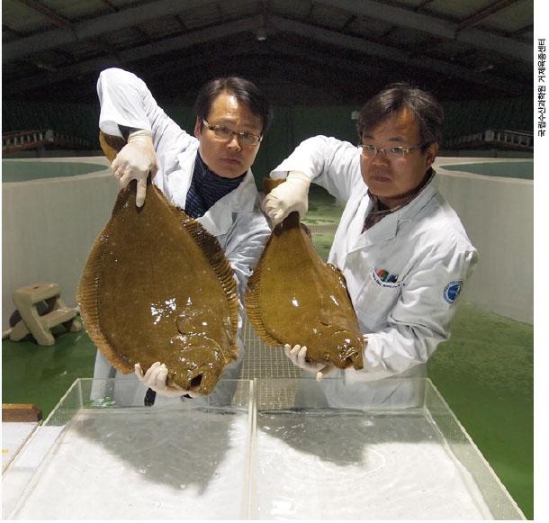 국립수산과학원 거제육종센터에서 개발한 킹넙치(왼쪽). 일반 넙치에 비해 무게가 두 배 무겁다.