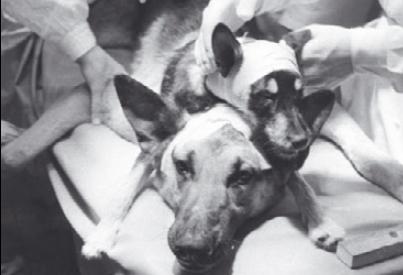 소련의 외과의사 블라디미르 데미코프가 1959년 1월 13일 동독에서 개 머리를 다른 개의 몸통에 이식한 모습.