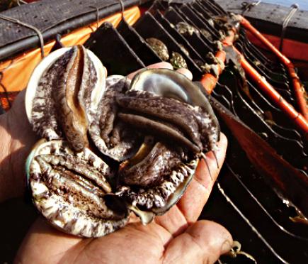 전복은 얼핏 보기에 조개처럼 생겼지만 오히려 고둥이나 달팽이와 비슷하다. 납작하지만 나선형으로 꼬인 껍데기를 등에 이고, 근육질의 발로 기어다닌다.
