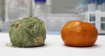 KAIST 연구팀이 개발한 기술로 나노 코팅한 귤(오른쪽)과 코팅하지 않은 귤(왼쪽)을 14일 뒤에 비교한 사진.