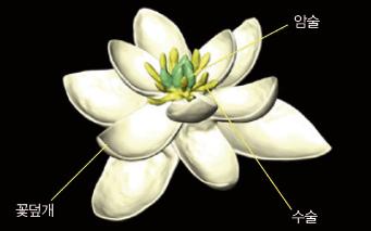 프랑스와 오스트리아 과학자들이 현존하는 꽃과 멸종한 꽃 화석을 토대로 추측해낸, 최초의 속씨식물 꽃 예상도.