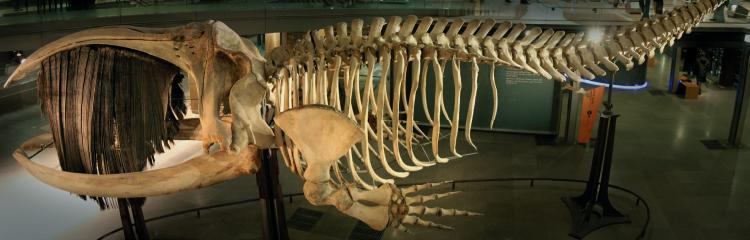 프랑스자연사 박물관에 전시돼 있는 참고래 골격표본.