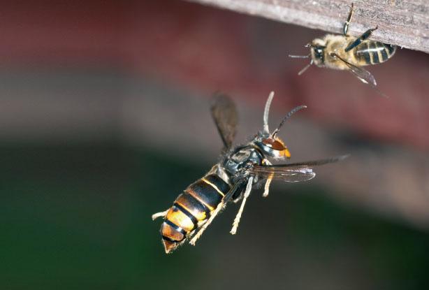 등검은말벌은 꿀벌에 비해 덩치가 3배 정도 크다.