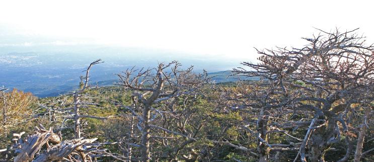 집단으로 죽은 한라산의 구상나무들.