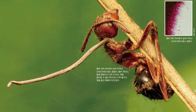좀비 개미의 머리에서 길게 자라난 오피오코르디셉스 곰팡이. 좀비 개미는 몸에 곰팡이가 가득 차 있고, 터을 움직일 수 없어 죽어서도 나무 줄기나 알을 품고 매달려 있게 된다. (오른쪽 상단) 좀비 머리에서 길게 자라난 곰팡이 확대모습.