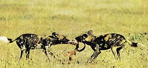 가축의 전염병이 야생동물에게 전파돼