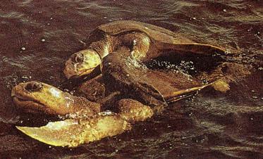 악어와 거북은 온도따라 성(性)이 결정된다