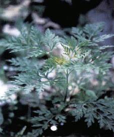 꽃가루 알레르기, 미국산 돼지풀이 주범