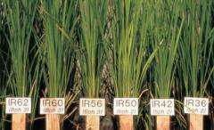 3. 인류 절반의 식량 벼 게놈지도 완성