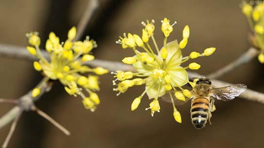 꽃가루 우체부, 꿀벌