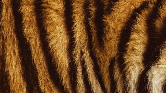 호랑이는 왜 가로줄무늬를 가졌을까