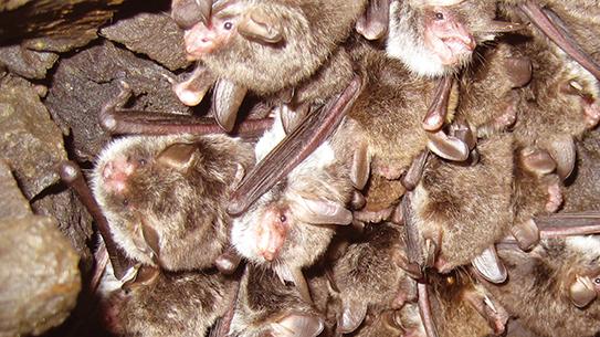 비행, 레이더, 동면 - 진화의 꽃 박쥐의 모든 것