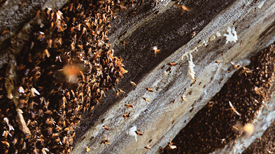 절벽에 매달려 꿀을 따다