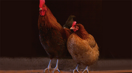 [과학뉴스] 공룡의 직계 후손은 닭?