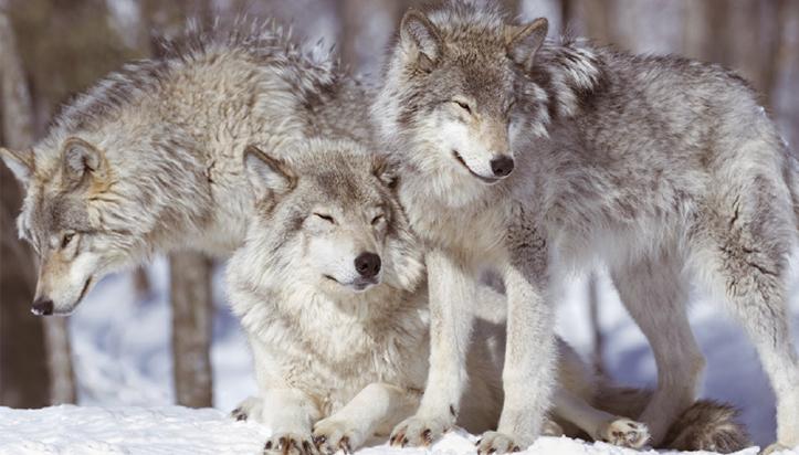 [헷갈린 과학] 닮았지만 천적 관계인 늑대 VS 코요테