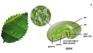 [과학뉴스] '마이크로 물방울'로 엽록소 반응 관찰