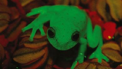 [과학뉴스] 형광을 내는 개구리 발견!