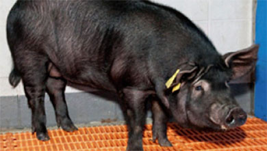 [과학뉴스] 치매 유전자 돼지로 신약 개발할까