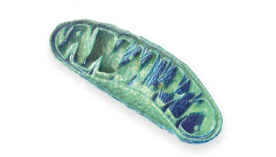 [과학뉴스] 꼬불꼬불한 미토콘드리아 내막의 비결
