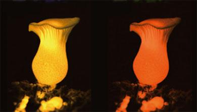 [과학뉴스] 스스로 빛을 내는 버섯의 비밀!