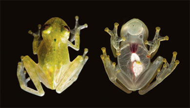 [과학뉴스] 몸 속이 다 보이는 투명 개구리 발견!