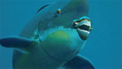 [과학뉴스] 산호도 씹어 먹는 돔의 비밀 밝혔다