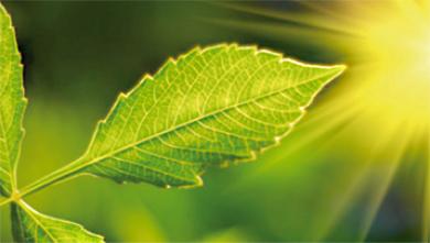 [과학뉴스] 뜨거운 태양 아래서 식물이 화상을 입지 않는 비결은?