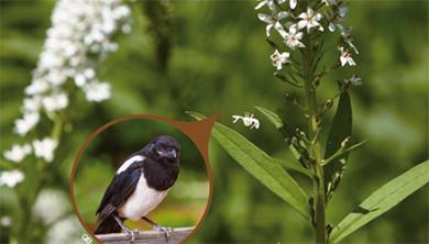 [식물 속 동물 찾기] 까치의 날개 문양을 닮은 까치수염