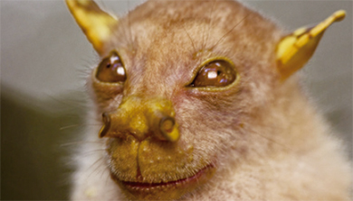 [과학뉴스] 요다 닮은 박쥐, 새로운 종으로 인정!