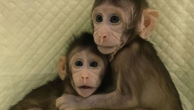 [과학뉴스] 세계 최초 복제 원숭이가 탄생했다!