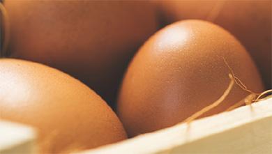 [과학뉴스] 달걀껍질, 병아리 나오기 직전 약해져