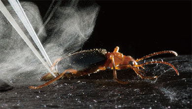 Part 2. 세상에서 가장 뜨거운 방귀, 폭탄먼지벌레