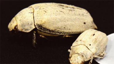 [과학뉴스] 딱정벌레가 가르쳐 준 하얀색의 비밀은?