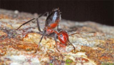 [과학뉴스] 보르네오섬에서 자폭 개미 발견!