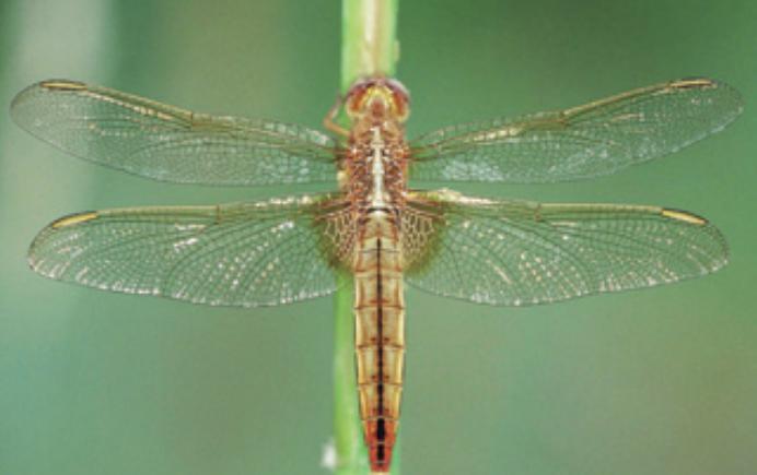 [수학뉴스] 잠자리 날개 무늬, 진짜 보로노이 다이어그램과 닮았을까?