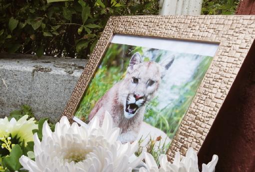 [독자와 함께]퓨마 사살과 동물원 폐지 논란 9월 18일