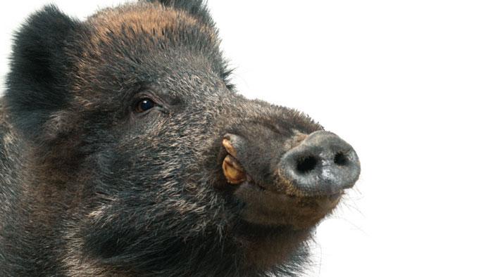 Part 1. 변신 1 - 9000년 간 변해왔다! 가축 돼지
