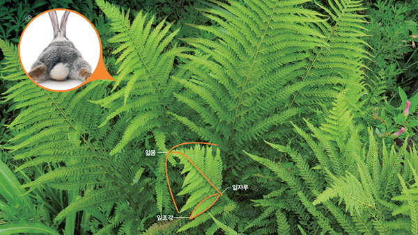 [식물 속 동물 찾기] 잎조각이 토끼의 꼬리를 닮았나? 돌토끼 고사리