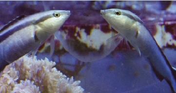 [과학뉴스]물고기도 '거울 테스트' 통과했다