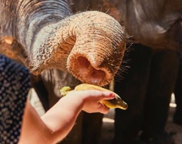 [수학뉴스] 코끼리는 수를 냄새로 구별한다