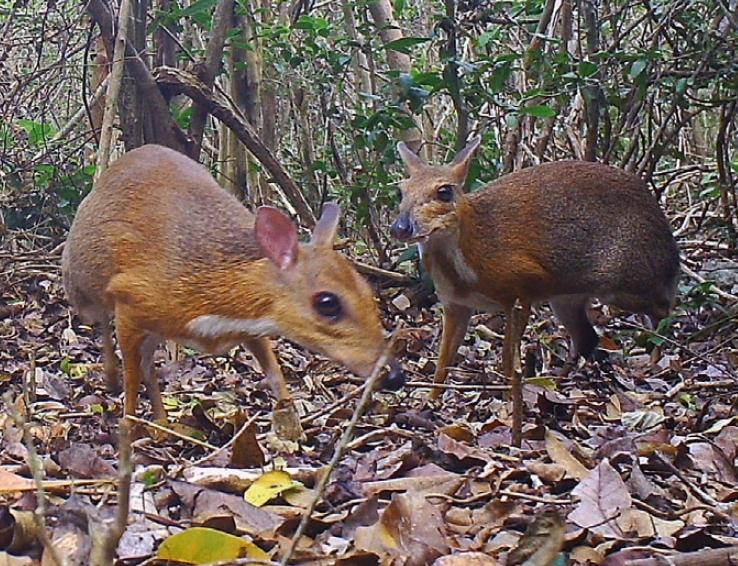 [과학뉴스] 아니, 너는 30년 전 멸종한 쥐사슴?