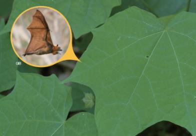 [식물 속 동물 찾기] 잎이 박쥐 날개를 닮은 박쥐나무