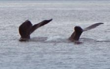 빅토리아● 혹등고래가 물기둥을 주욱!