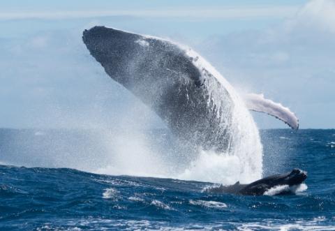 [한페이지 뉴스] 대왕고래가 지상 최대 동물에 등극한 비결