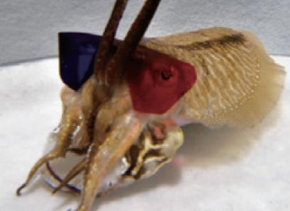 [과학뉴스] 갑오징어도 3D 영화 즐길 수 있다?