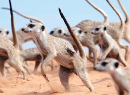 [한장의 과학] 미어캣은 귀엽지 않다 '전쟁 댄스'를 보라!
