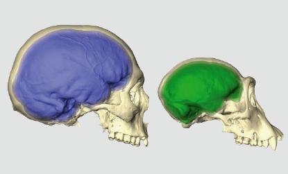 [한페이지 뉴스]유인원도 인간처럼 좌우 뇌 비대칭