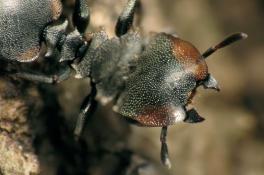 [한페이지 뉴스] 거북 개미의 진화는 거꾸로도 간다