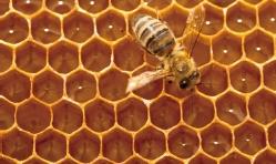 [수학뉴스] 꿀벌의 수학적 인지능력, 수학 모형으로 원리를 밝히다